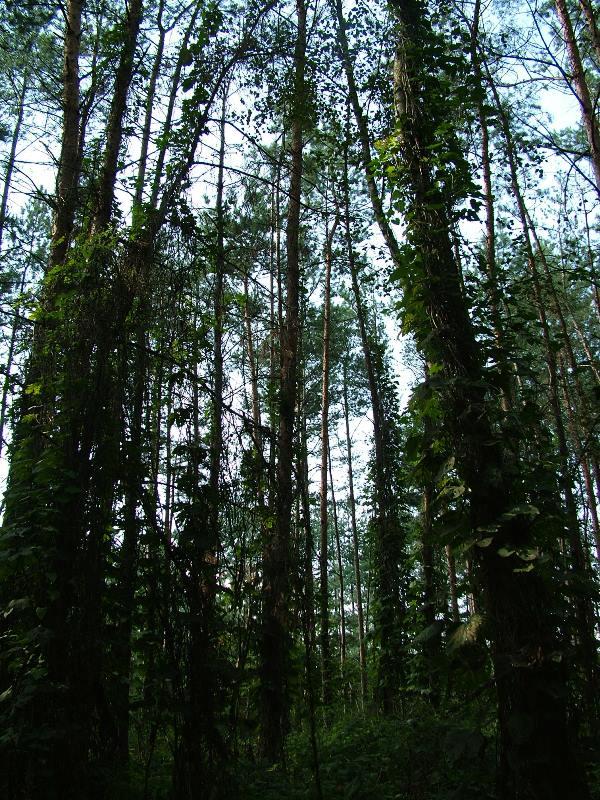 - drzewa_bluszcz.jpg
